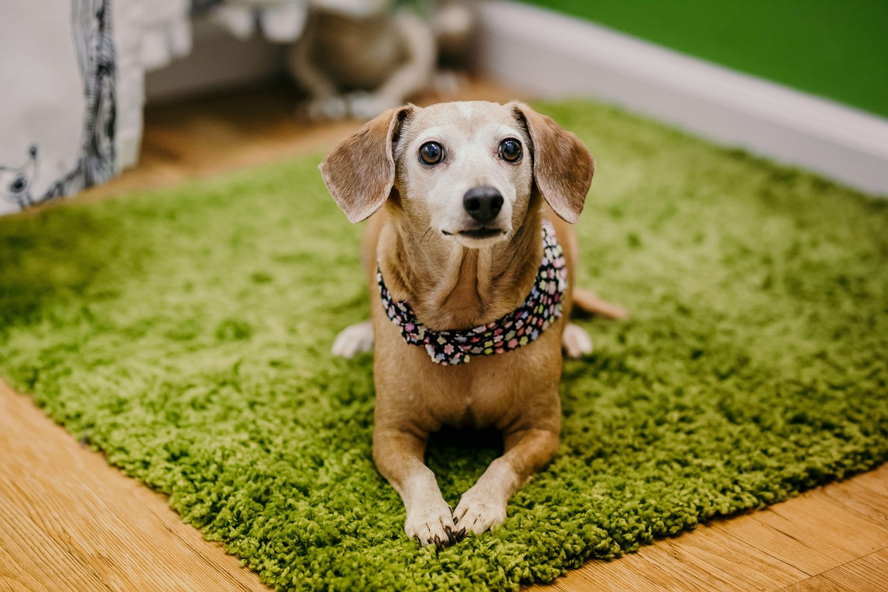 Bella the Chiweenie laying on a green carpet.